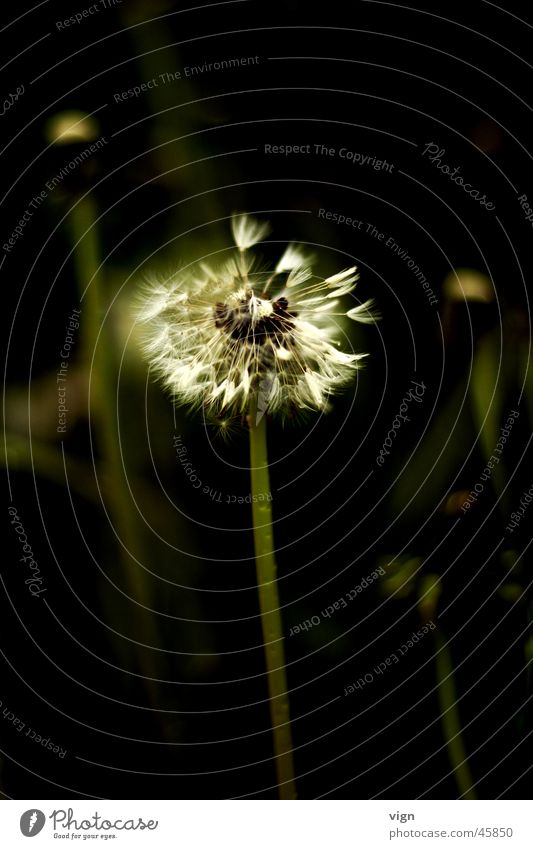 Pusteblume Blume Pflanze Löwenzahn Samen verbreiten