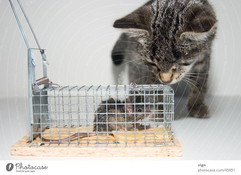 Blickkontakt Ferne Katze Angst Appetit & Hunger gefangen Maus Käfig