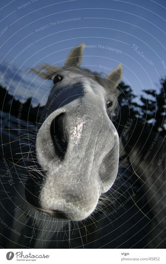 Cabriolo Pferd Nüstern Neugier Blick Schimmelpilze Nase Lippen Geruch Kontakt
