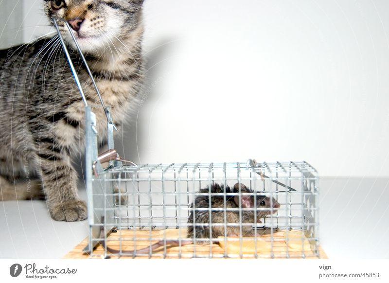 Desinteresse Katze Appetit & Hunger Langeweile gefangen Maus satt Käfig