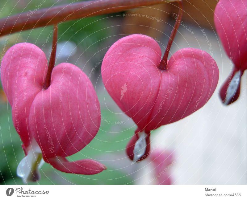 Tränende Herzen Blume Tränendes Herz