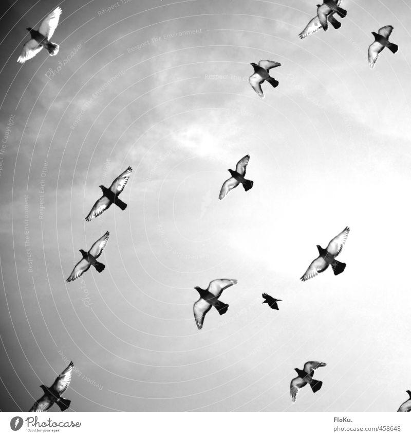 Friedensbomber Tier Wildtier Vogel Taube Tiergruppe Schwarm fliegen wild grau schwarz weiß Gefühle Stimmung friedlich Hoffnung Glaube Flügel Feder Friedenstaube