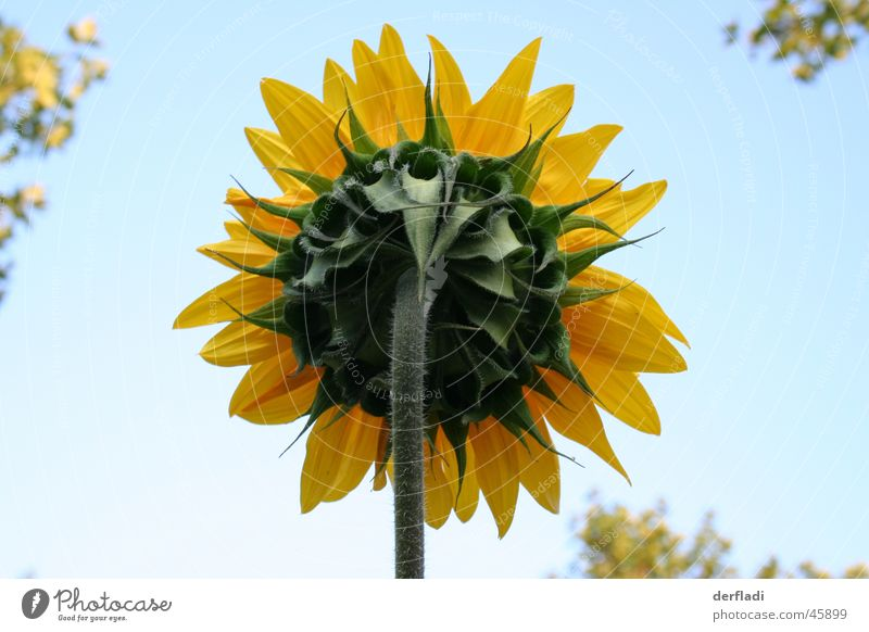 Sonnenblume mal anders Blume Blatt rückwärts