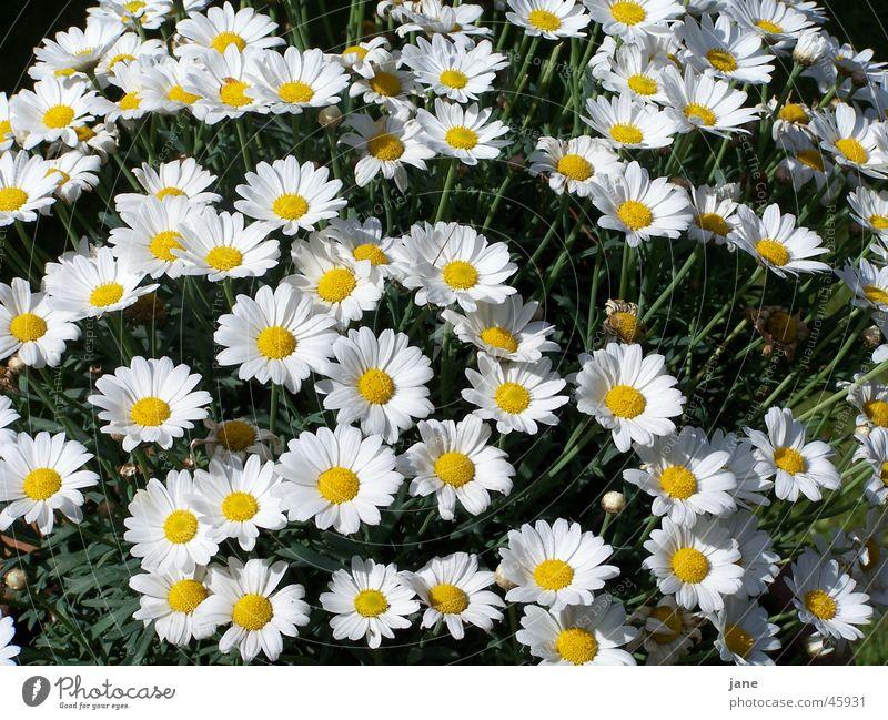ein meer von magariten Pflanze Blume träumen Außenaufnahme hell Freude Margerite
