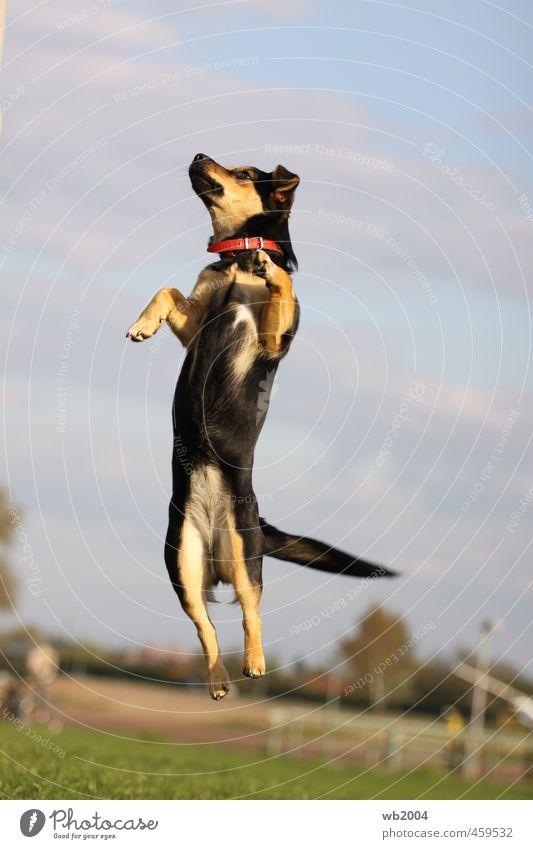 Der Sprung Hund Sommer Freude Tier springen Kraft Fitness Lebensfreude sportlich Leichtigkeit