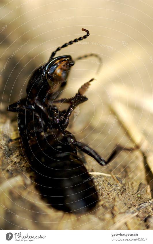 Breakdance Tier schwarz Tod Beine Rücken dreckig Bodenbelag Insekt Bauch Käfer Ekel Stroh Fühler Mitgefühl