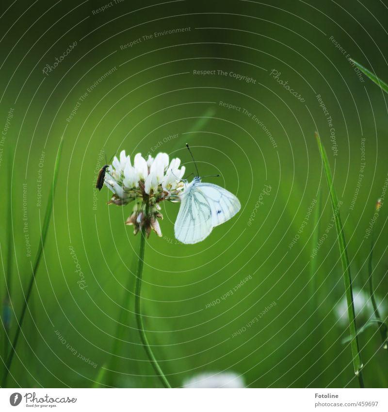 Schmetterling küsst Klee... Natur grün weiß Pflanze Sommer Tier Umwelt Wärme Wiese Gras Garten nah Halm Käfer