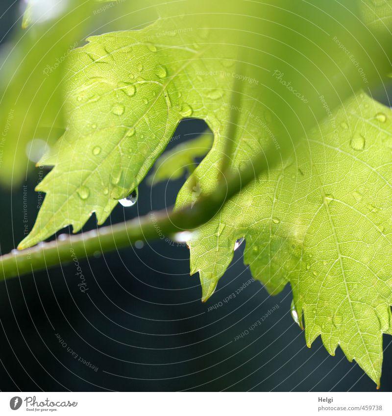 Pflanze | Weinblatt Umwelt Natur Sommer Regen Blatt Nutzpflanze Garten hängen leuchten Wachstum ästhetisch authentisch einfach nass natürlich grau grün schwarz