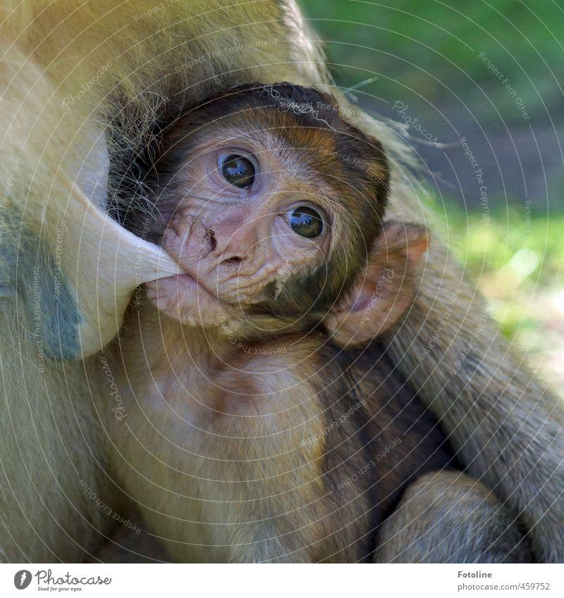 Tiere | Satt??? Umwelt Natur Wildtier Tiergesicht Fell 2 Tierjunges Tierfamilie frei klein nah natürlich Affen saugen Farbfoto mehrfarbig Außenaufnahme