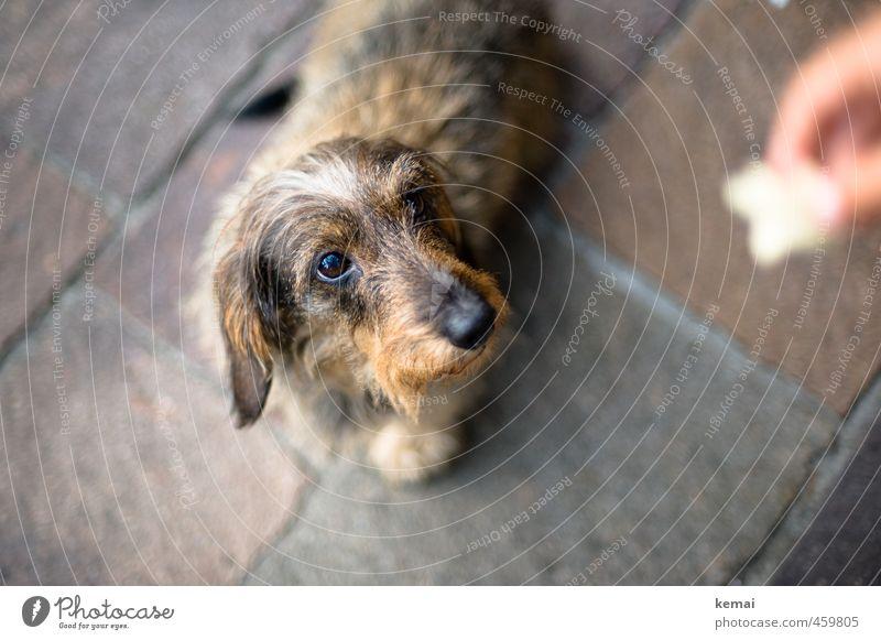 Futterblick Tier Haustier Hund 1 füttern Blick niedlich Tierliebe Wachsamkeit geduldig Dackel Rauhaardackel Farbfoto Gedeckte Farben Außenaufnahme Nahaufnahme