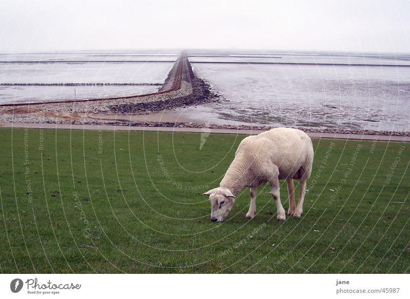 Lamm auf Reisen, Rast vor den Gleisen Schaf Meer Ebbe Ferien & Urlaub & Reisen ruhig harmonisch Außenaufnahme Fernweh Wattenmeer Nordsee