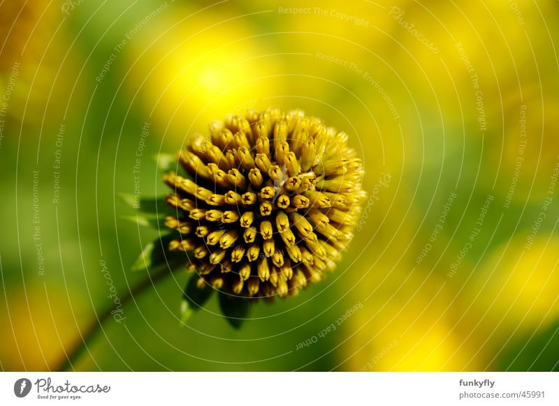 Flower Closeup Natur gelb Hintergrundbild Single