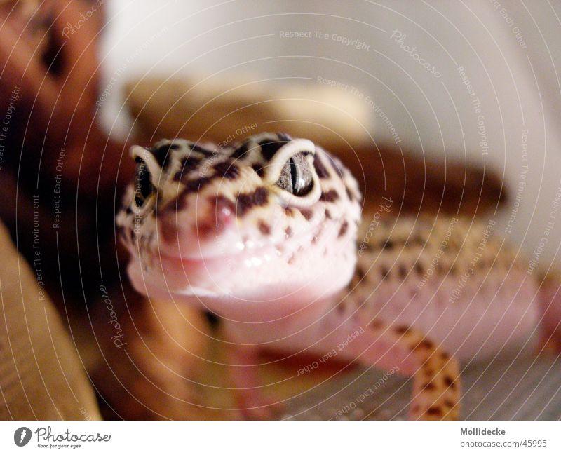 Leopardgecko Gecko Echsen beige braun Reptil Echte Eidechsen Punkt Auge Maul