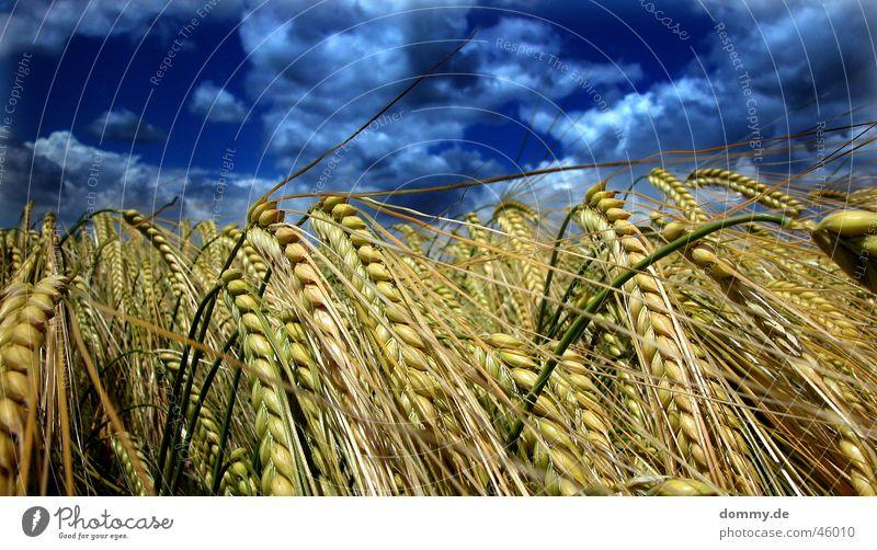 gewitterfeld Feld blau dunkel Weizen Sommer Gewitter getreite Korn Regen schlechtes Wetter Natur