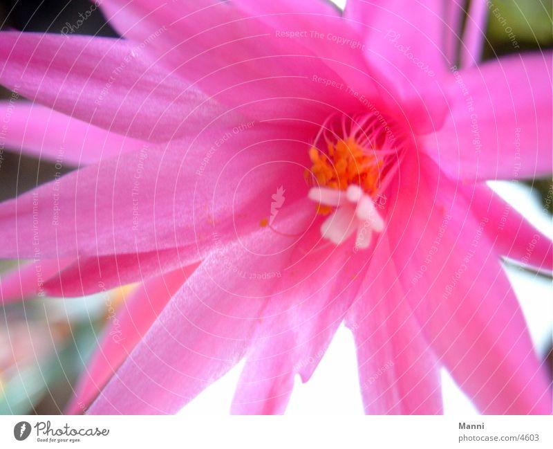 Kaktusblüte Kakteenblüte