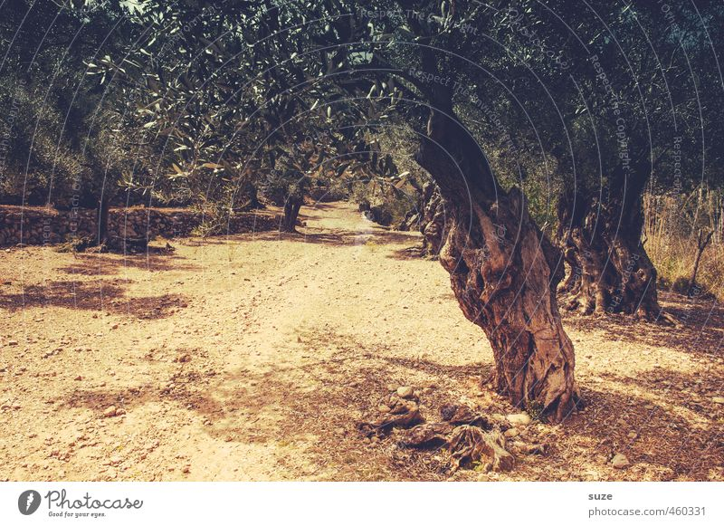 Olivenhain Natur Ferien & Urlaub & Reisen Sommer Baum Landschaft Umwelt Wärme Reisefotografie Wege & Pfade Freizeit & Hobby Erde trist Tourismus trocken