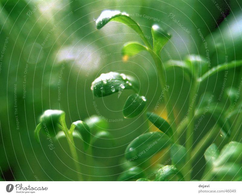 morgentau Wasser grün Wassertropfen Seil Tau Kräuter & Gewürze Kresse