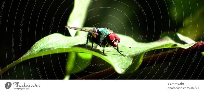 Fliege grün Blatt schwarz Makroaufnahme rot Tier Natur sitzen Auge facetten Flügel fliegen