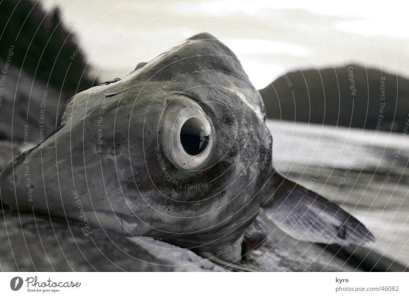 happy fish nah Norwegen Baum Angeln Fisch Auge Wasser Fjord Schwimmhilfe Berge u. Gebirge Felsen Stein Küste Blick Ernährung lustig