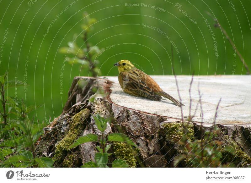 Meise? Vogel Meisen grün braun klein Baum hellbraun weiß Baumstumpf Schwanz Holz verrotten Wald Wiese scheckig Zufriedenheit bemoost alt Natur Freiheit