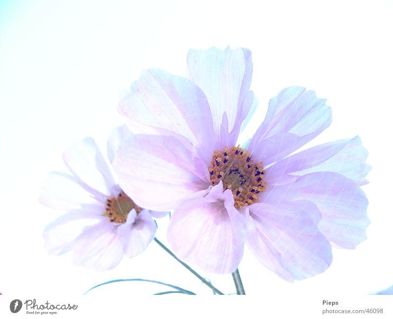 Absolut irdisch Natur weiß Blume Pflanze Sommer ruhig Leben Blüte Garten 2 elegant Vergänglichkeit zart Blühend Schmuckkörbchen Wolkenloser Himmel