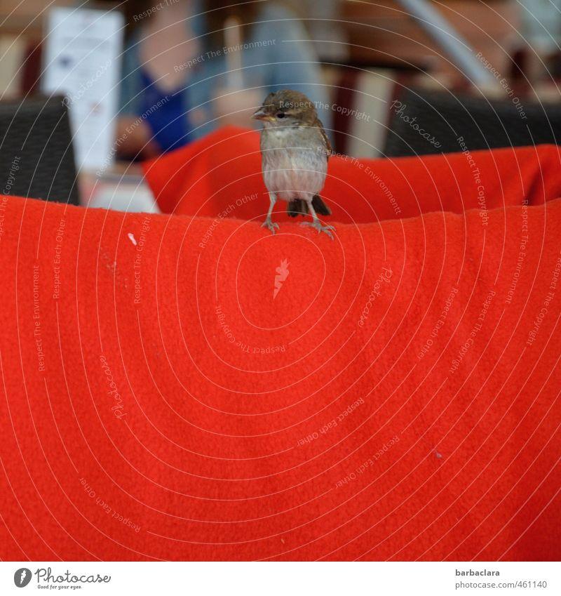 Tier | Roter Teppich für den Spatz Speisekarte Ferien & Urlaub & Reisen Sommer Restaurant feminin 1 Mensch Vogel Decke sitzen frech klein Neugier rot Freude