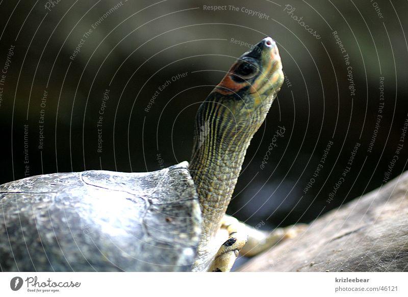 aufmerksam Wachsamkeit Hals Schildkröte überblicken