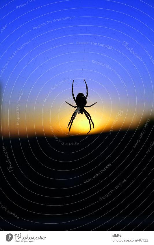 Spider in the Sunset Himmel blau Netz Spinne