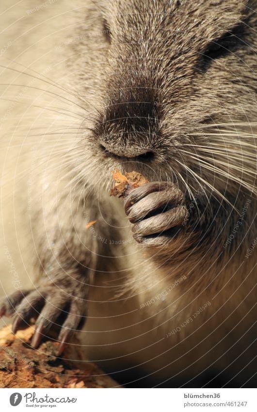 Tier | Knabberspaß weiß Tier schwarz Bewegung lustig grau natürlich außergewöhnlich Kopf Wildtier niedlich beobachten Nase weich Freundlichkeit Neugier