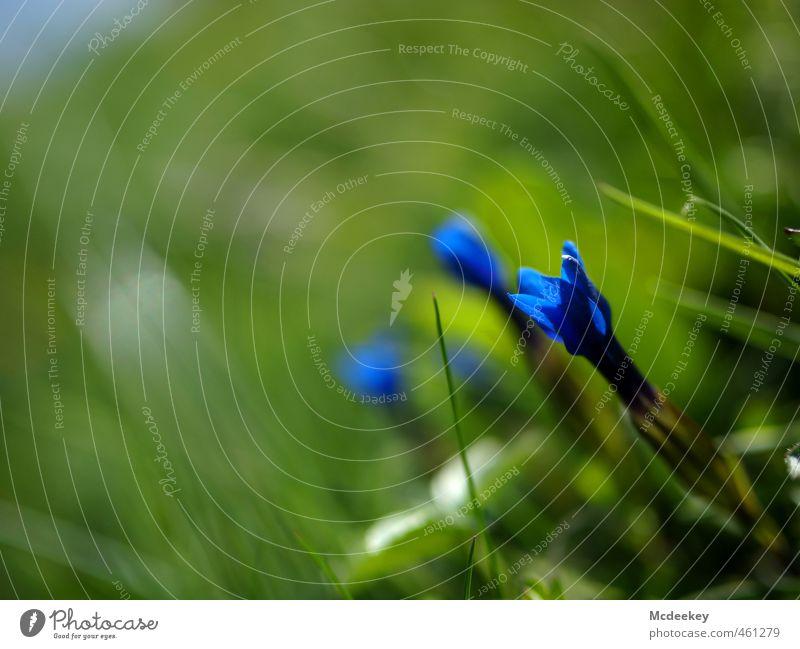 Das blühende Leben Natur blau grün weiß Pflanze Sommer Landschaft Blume Blatt schwarz Umwelt Berge u. Gebirge Wiese Gras grau Blüte