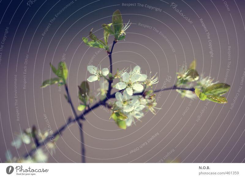 Kirschblütenartig Natur Pflanze Frühling Blatt Blüte Ast Garten Park Blühend Duft ästhetisch grün violett weiß Frühlingsgefühle Lebensfreude Farbfoto
