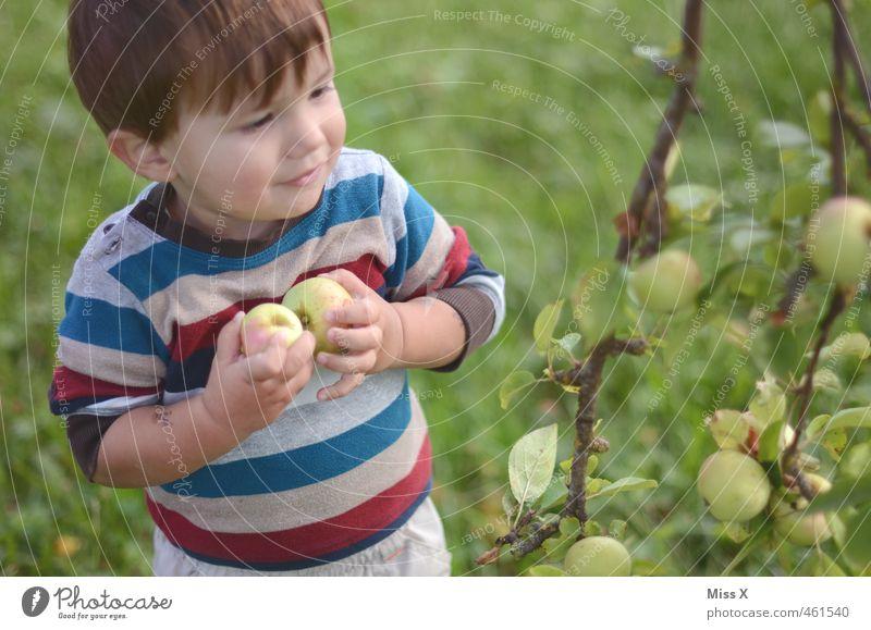 Apfelernte Lebensmittel Frucht Ernährung Bioprodukte Spielen Mensch Kind Kleinkind Junge 1 1-3 Jahre Natur Herbst Baum Garten frisch Gesundheit lecker niedlich
