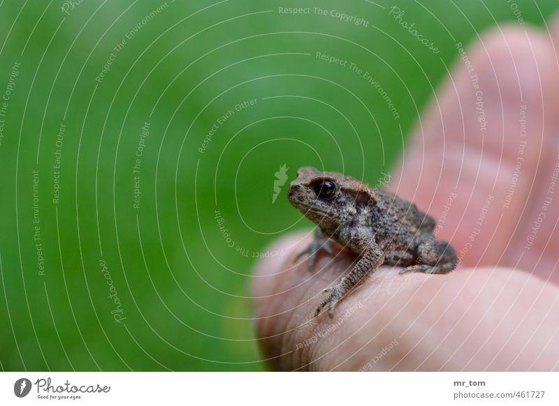 Vor dem Sprung Garten Haut Hand Natur Tier Wildtier Frosch 1 Tierjunges berühren krabbeln tragen klein natürlich niedlich weich grün Tierliebe Umwelt Farbfoto