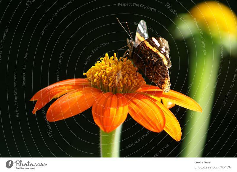 Gib mir deinen Saft Blume Blüte Schmetterling