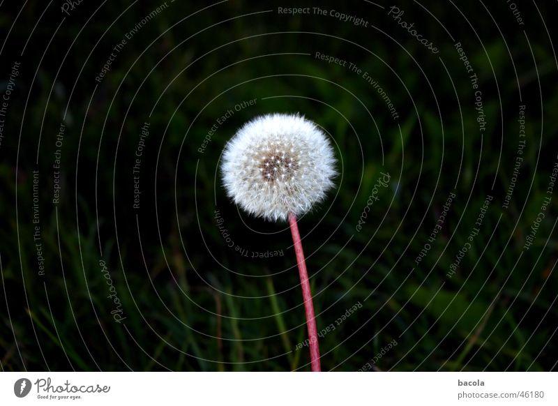 jetzt bloß nicht niesen Blume ruhig Löwenzahn Samen Windstille