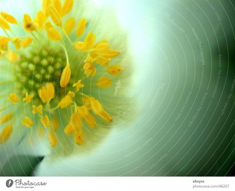 Abgestempelt Natur weiß Blume grün blau Pflanze gelb Blüte Frühling orange Stempel Blütenblatt Zoomeffekt Blütenkelch vergrößert Frühblüher