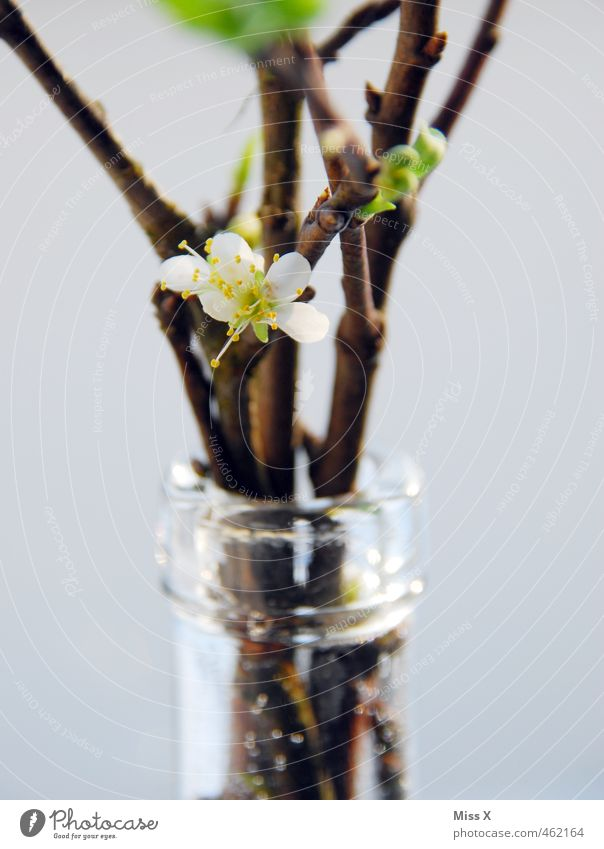 Kirschblüte Dekoration & Verzierung Frühling Blüte Blühend Duft Kirschblüten Ast Zweige u. Äste Vase Flaschenhals Blumenstrauß Barbara Barbarazweig Barbaratag