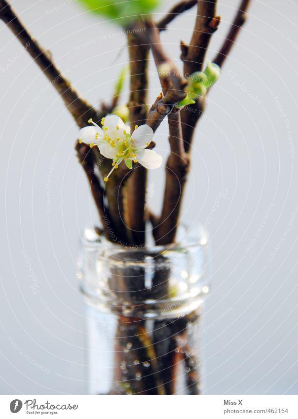 Kirschblüte Frühling Blüte Dekoration & Verzierung Ast Blühend Blumenstrauß Duft Vase Zweige u. Äste Kirschblüten Flaschenhals