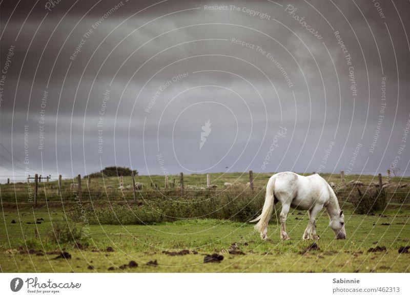 Mittagspause II Umwelt Natur Landschaft Erde Himmel Wolken Gewitterwolken Sommer schlechtes Wetter Sturm Pflanze Feld trist grün Pferd Weide Fressen Zaun