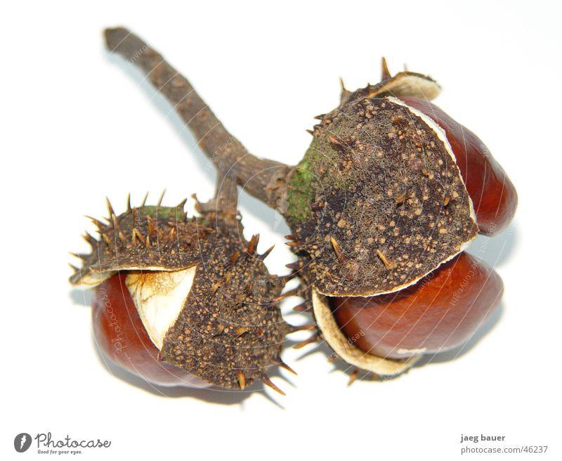 Kastanie im Kleid Herbst Zweig Schalen & Schüsseln Stachel getrocknet Kastanienbaum gerissen aufgefaltet