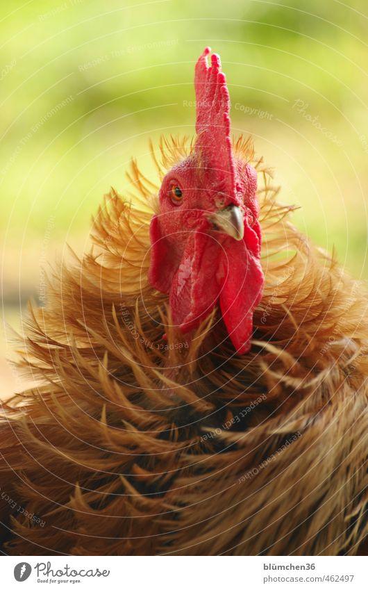 Er ist halt anders ... Tier Nutztier Hahn Vogel Tiergesicht Federvieh beobachten Blick stehen elegant lustig Neugier schön braun rot Tierliebe Landwirtschaft