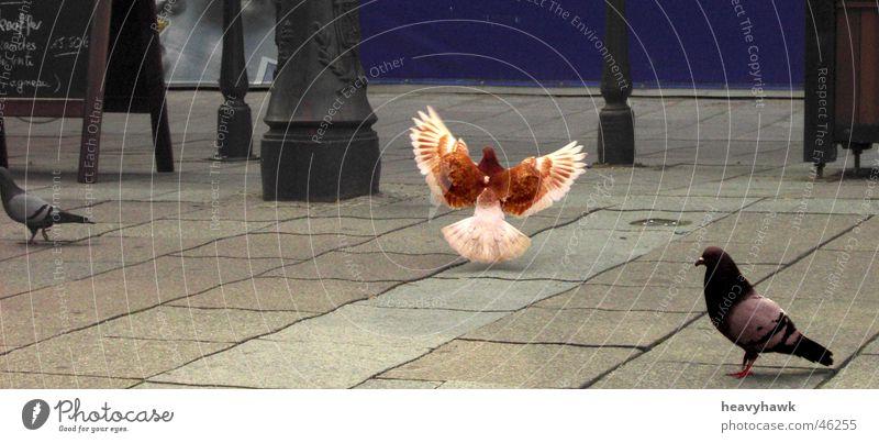 Flying Hero Platz Fliesen u. Kacheln Held Taube König Straßburg
