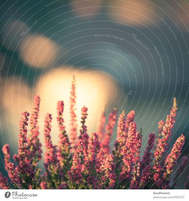 HerbstStar Umwelt Natur Pflanze Sonne Blume Grünpflanze Garten leuchten ästhetisch schön blau rot Jahreszeiten Bergheide violett Heidekrautgewächse rosa Blühend
