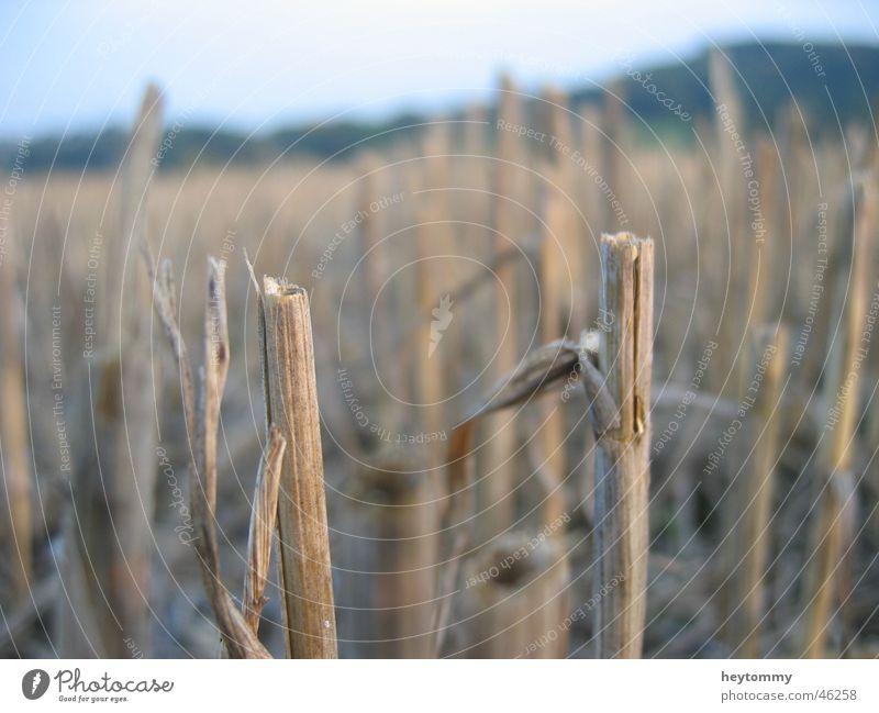 Cornfield Kornfeld Feld Pflanze Landwirtschaft trüb Stengel Gras dunkel trist braun grau Hälfte Trauer Einsamkeit Denken kurz Außenaufnahme Aachen Hoffnung