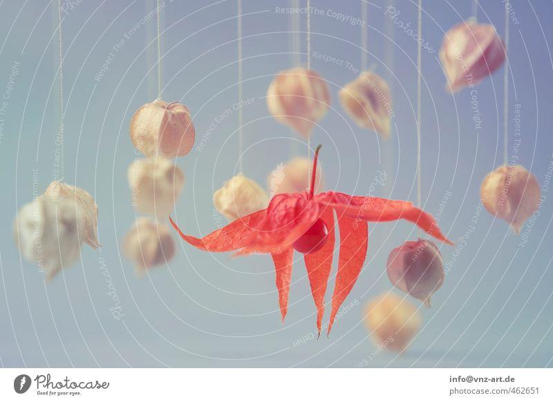 schweben Lebensmittel Ernährung Bioprodukte Vegetarische Ernährung blau Gefühle Physalis Schweben Nähgarn Schnur herbstlich Herbst Pastellton Farbfoto
