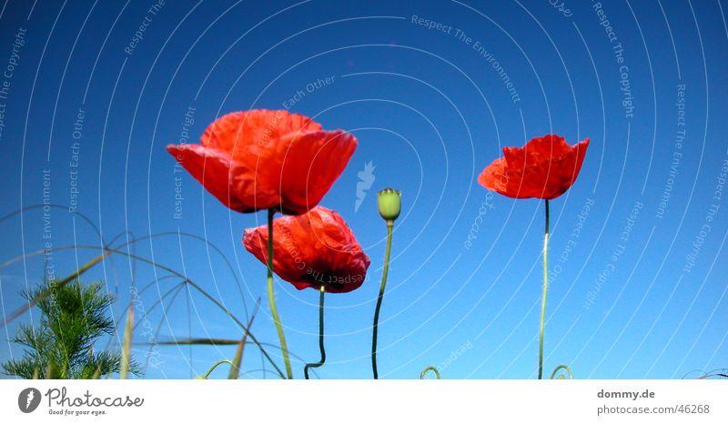 Mohn rot Sommer Feld Gras Wachstum Pflanze 4 stehen blau Sonne Natur Wildtier
