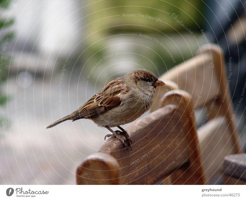 Besser nen Spatz in der Hand... Vogel Stuhl Spatz betteln