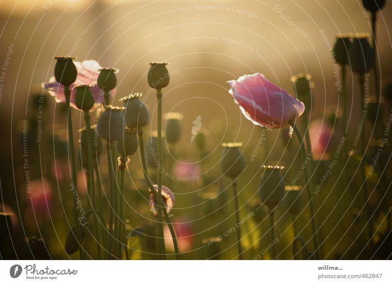 Rosa Mohn im Morgenlicht Natur Pflanze Sommer Schönes Wetter Mohnblüte Mohnfeld Mohnkapsel schön braun rosa Sommerabend harmonisch sanft Blume Gegenlicht