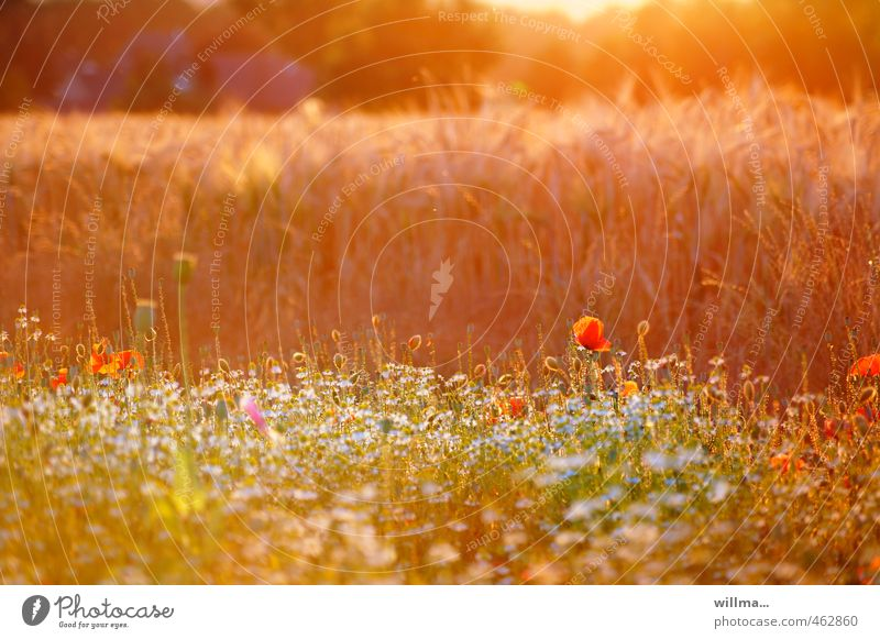 Sommerabend am Feldrand mit Sommerblumen Natur Sonnenlicht Schönes Wetter Mohn Wiese Blumenwiese Kornfeld Wärme orange Hoffnung sommerlich Abend Sonnenaufgang