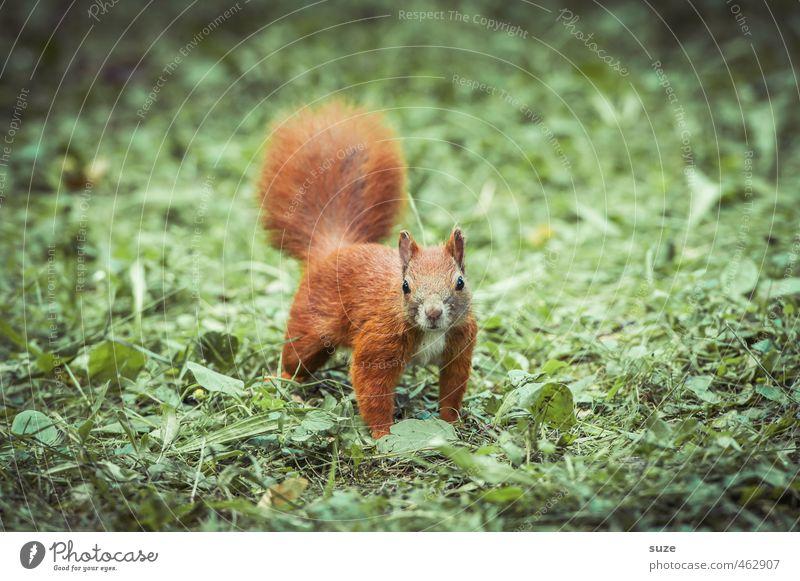 Tier | im roten Fummel Natur Gras Wiese Wildtier 1 klein Neugier niedlich grün Nagetiere Eichhörnchen Fell tierisch Farbfoto mehrfarbig Außenaufnahme